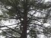 Eastern white pine canopy