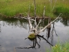 Old roots in beaver pond