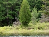 Cedar tree on Trout Pond