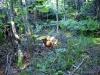 Illegally cut trees on Cat Mtn