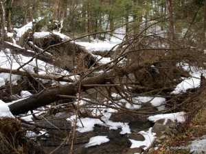 Downed hemlocks along Hoxie Gorge stream