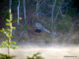 Black bear returning from breakfast