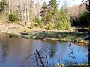 Beaver dam at geese pond