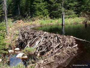 Beaver dam along unnamed stream