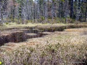 Bog near beaver dam crossing
