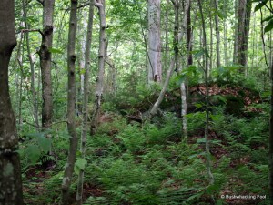 Dense beech forest on way to carpet spruce swamp