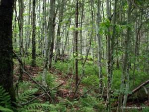Groping young beech trees on ridgetop