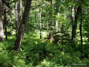 Forest with fern dominated understory