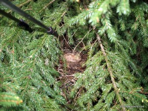 Well-hidden Swainsons Thrush nest