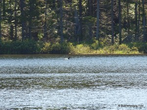 Common loon on first unnamed pond