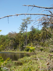 Towering pine overlooking second  pond