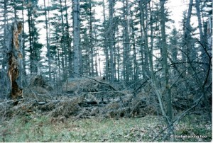 Blowdown near Wolf Pond lean-to 1997