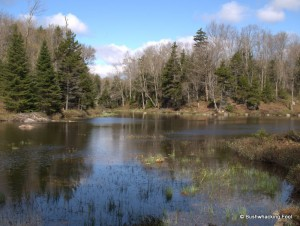 First beaver pond along Cropsey outlet