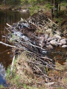 Beaver dam near Muskrat sighting