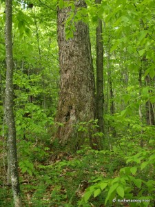 Old man birch